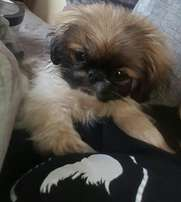 Very Small breed pekingese puppies for sale