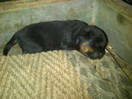 black and brown puppie