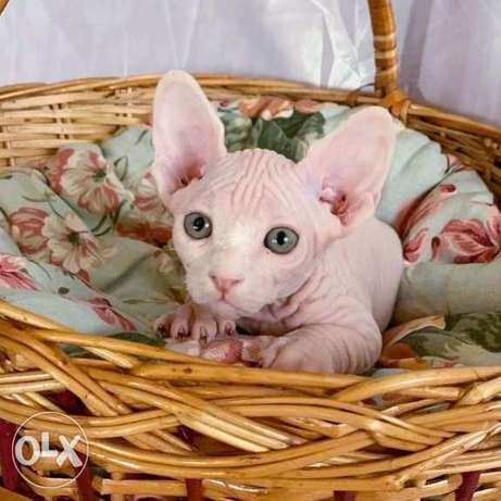 Wonderful kittens are available for reserve. Canadian sphinx