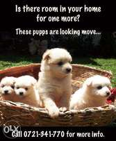 Puppies Looking for a Home! Papillon Dogs!