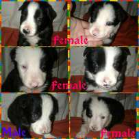 pure breed sheepdog puppies