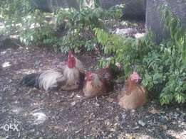 Kienyeji chicken for sale
