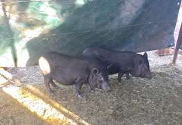 PIGS Pot belly females