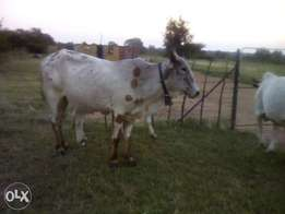 Two Brahman females for sale