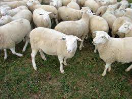 Easy Care Sheep - High meat yields for sale R600