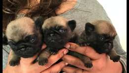 absoluut pragtig en gesond pug puppies male female fawn black