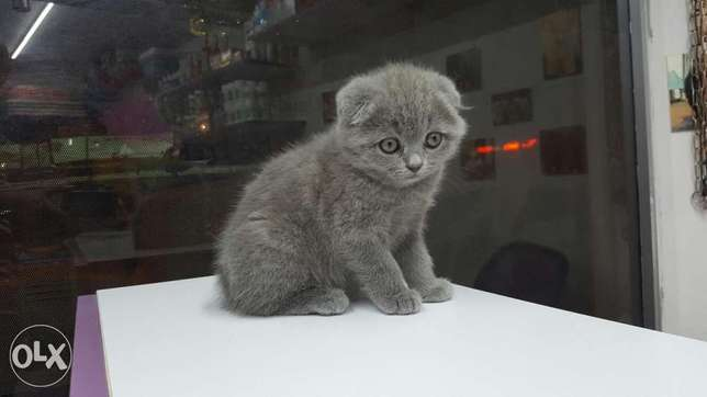 Scottish fold kittens with imported Documents أشرفية -  1