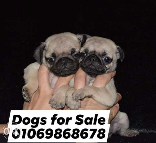Last Male pug imported parents vaccinated