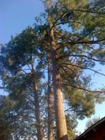 Tree Felling and Prunning
