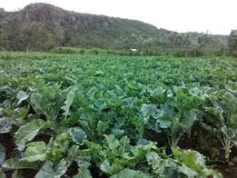 Sukuma wiki and cabbages