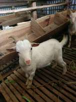 Six goats for sale. Breed improvement or Hajj Celebration 25-40kg
