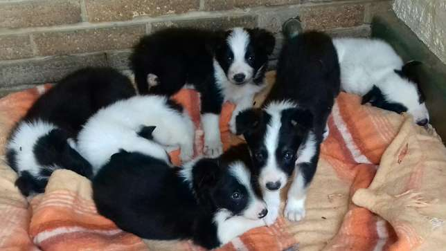 Pure Bred Border Collie Male Puppies Vryburg - image 1