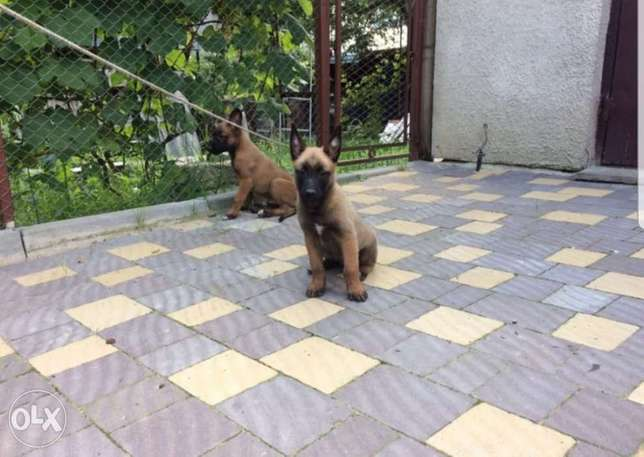 Best Malinois In town