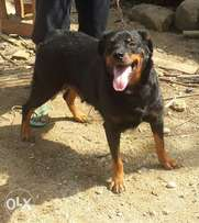 2yrs rottweiler adult aggressive for sale