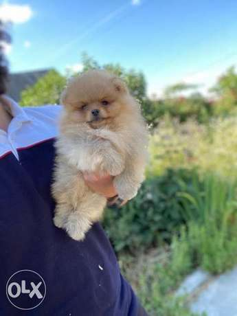 Imported mini Pomeranian male now in egypt