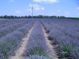 R 7 One year old Bulgarian Lavender plants, the best for essential oil