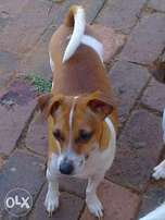 Jack Russell Canine registreded well bred short leg Jack Russells