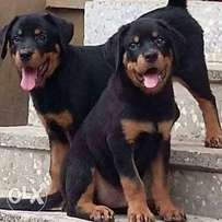 Advanced security trained Rottweilers availability for sale