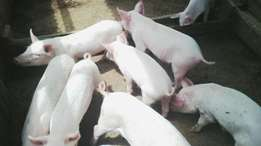 Am selling Pigs, from Gachie