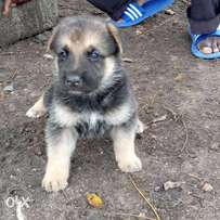 Pure breed German shepherd puppies 1 month old