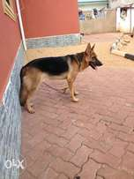Male GSD pure breed