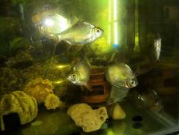 Various Tropical Fishes for Sale now ..