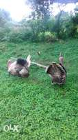 Turkeys 4 Sale