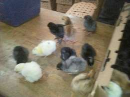 One day old improved local chicks on sale