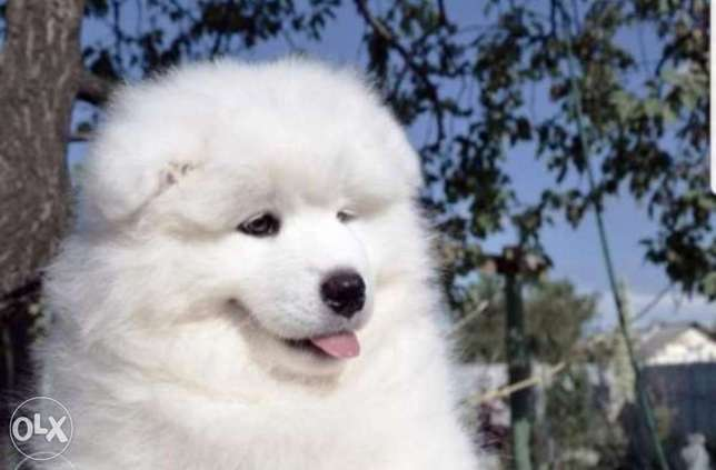 Reserve ur imported samoyed puppy from Ukraine with Pedigree