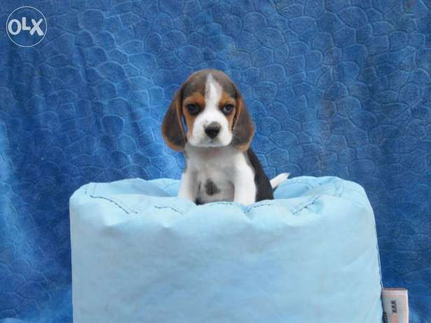 Cutest beagle puppies from imported parents, Vaccinated