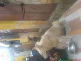 White gsd long coat awesome pet good size.