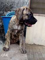 good breed Boerboel puppies for sale