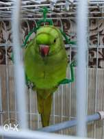 Green parrot female age to air