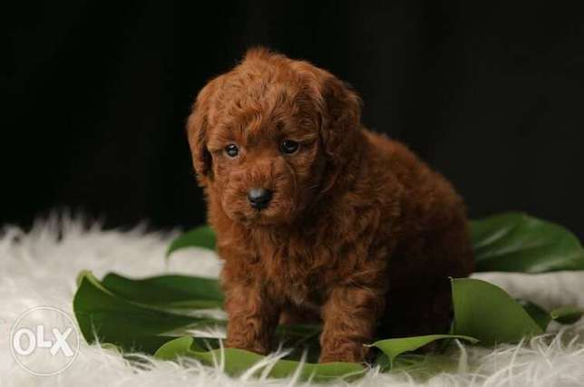 Imported Toy Poodle