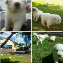 Beautiful,Great Mountain Pyrenees Puppies For Sale