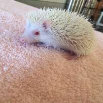 hedgie for sale
