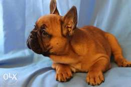 Reserve ur imported French Bulldog puppy with all documents,