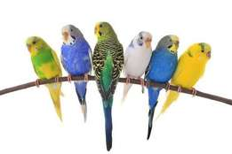 Handreared Budgie Babies for Sale
