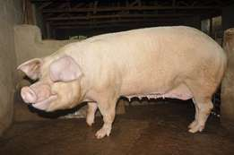 Landrace, Large White and Duroc Pigs at JTL FARMS
