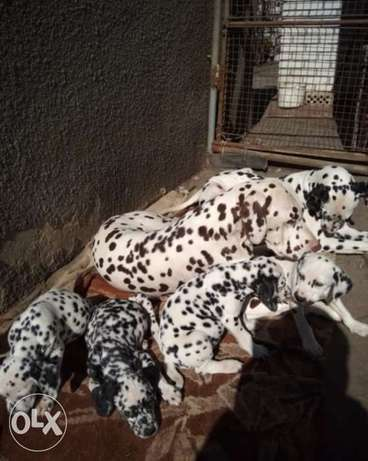 Cutest Dalmatien Dogs