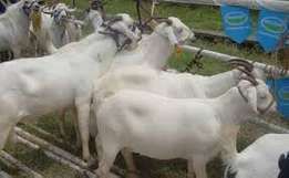 goats on sale and meat supply kiserian kajiado