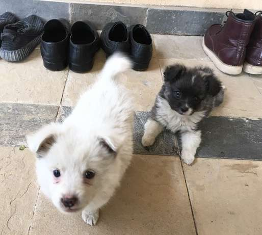 Japanese Spitz Puppies for sale at 10k Nairobi CBD - image 4