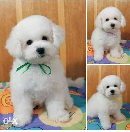 The Best Bichon maltese available