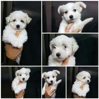 Maltese Poodle puppy for sale