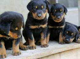 Original Rottweiler puppies