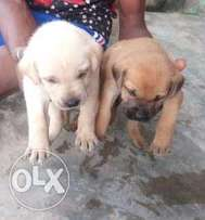Pure Breed of Bubau Puppies for Sale