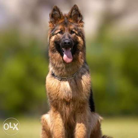 Puppies of the German long-haired shepherd