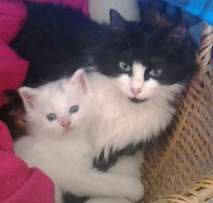Ragdoll kittens available now