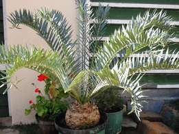 Trispinosus cycad - female - for sale