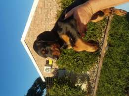 Dobermann puppies for sale (large breed)